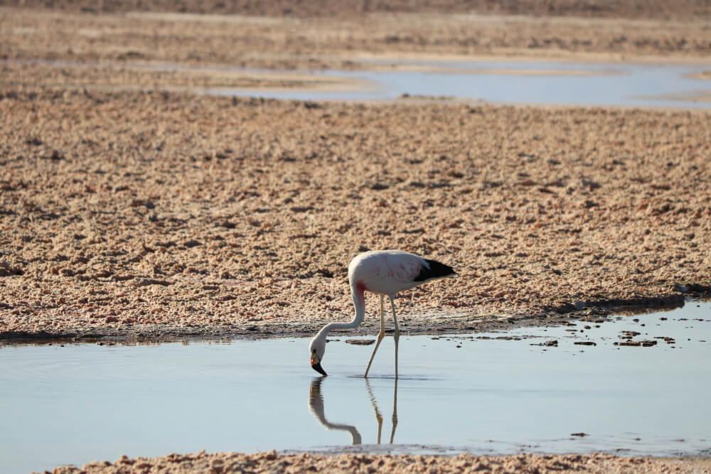 Flamingo an der Laguna Chaxa in der Atacama Wüste