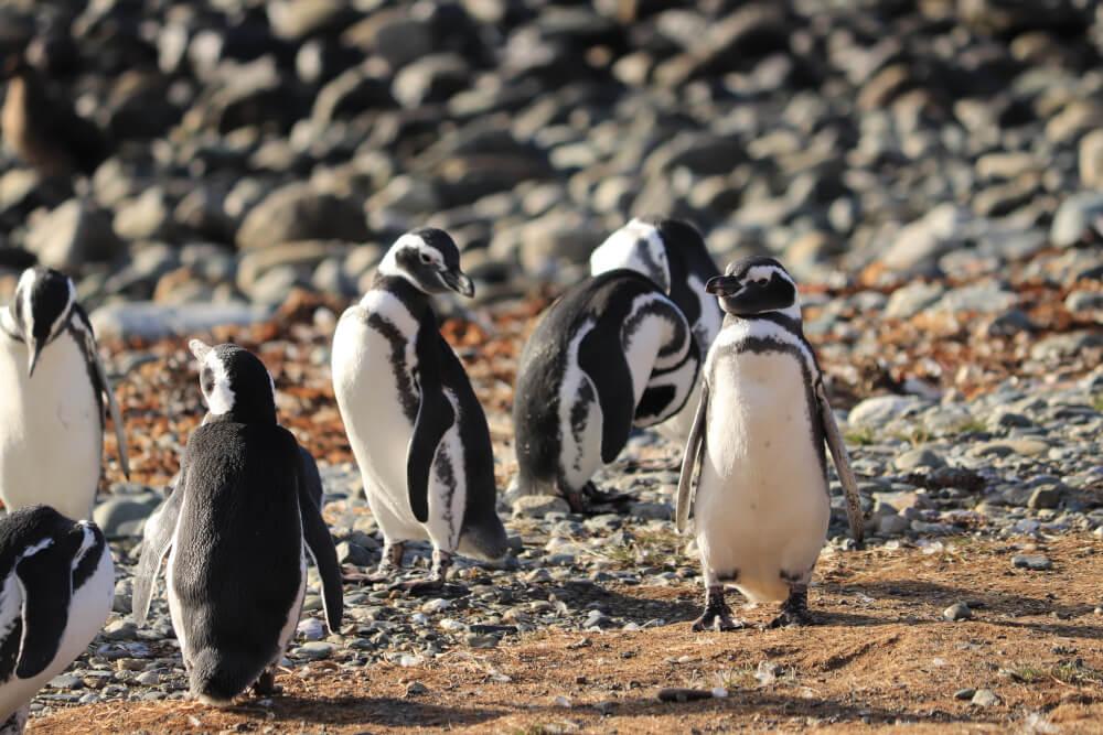 Magellan Pinguine auf der Isla Magdalena