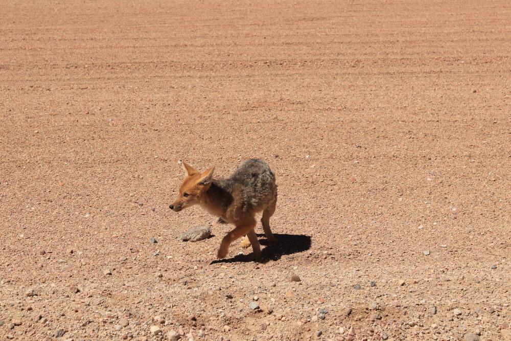 Wüstenfuchs in Bolivien