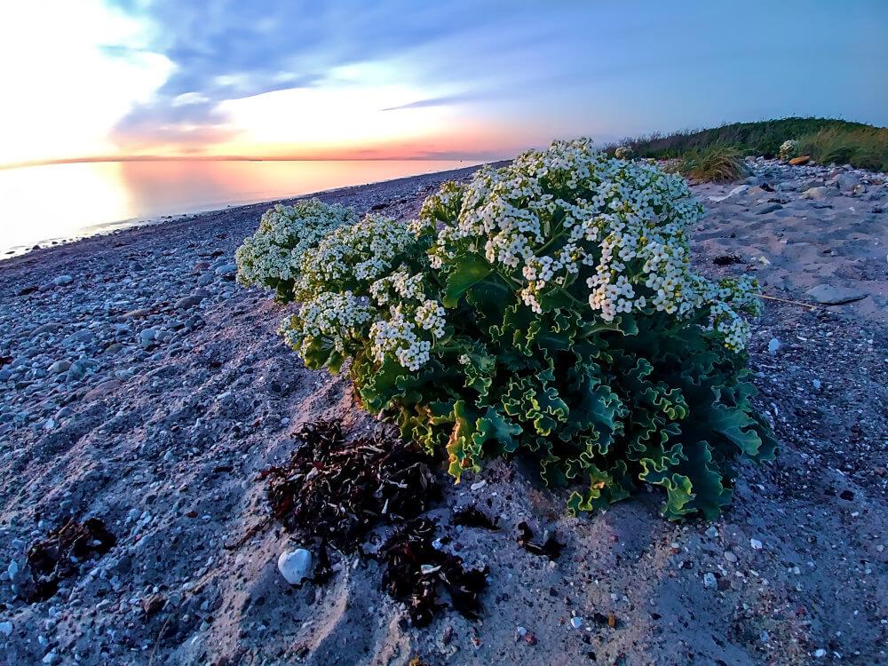 Blühende Pflanze am Strand von Westermarkelsdorf auf Fehmarn